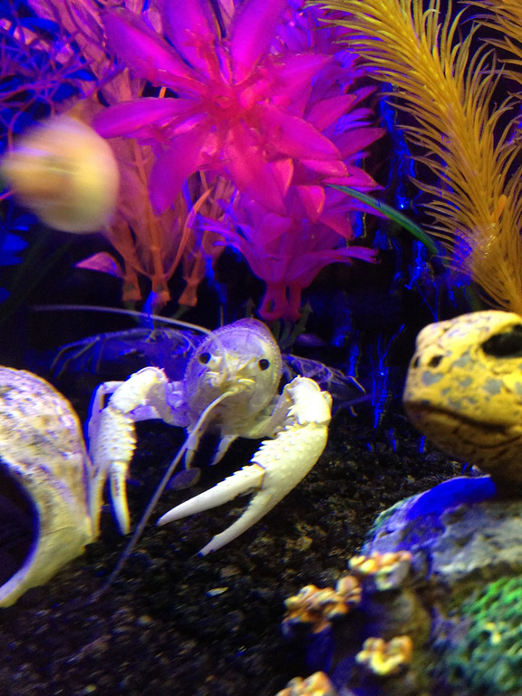 Shan's Crayfish