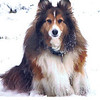 Gem Beau Sable Sheltie