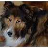 Lily sable sheltie