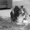 Lily Sable Sheltie in BW