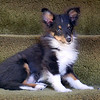 Alex Tri Color Sheltie
