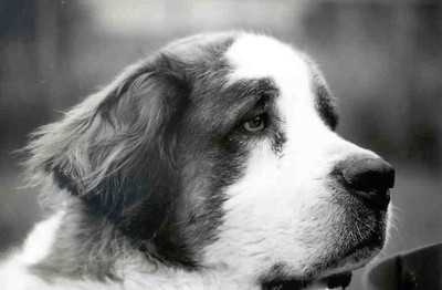 P-Nut, 8.5 year old Saint Bernard has left the Earth August 30, 2005.  After two days of observing and attempting to resolve his being lethargic and just plain not interested in much, it was discovered that a very large tumor at the back of his throat was restricting breathing and making even opening his mouth very painful.  Other than the lethargy there were almost no other signs.  Surgery was truly not an option we were told, even though we wanted to believe it could be.  So, today,10:30 a.m. P-Nut was kissed good bye.   P-Nut - 8 years old as of May 2005, and yet another Bloat survivor.  April 4, 2005 he bloated (Gastric Dilatation-Volvulus) and spent 5 days at the University of Minnesota Small Animal Hospital, Emergency Veterinarian area.   The decision to go for surgery and not let him die was hard, but having him alive and loving again has to have been the only and truly correct decision.
