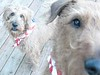 PuppiesInStarSpangledScarves_01