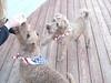 PuppiesInStarSpangledScarves_20