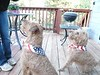 PuppiesInStarSpangledScarves_04