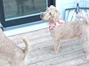 PuppiesInStarSpangledScarves_18