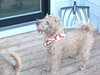 PuppiesInStarSpangledScarves_15