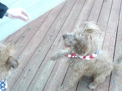 PuppiesInStarSpangledScarves_21