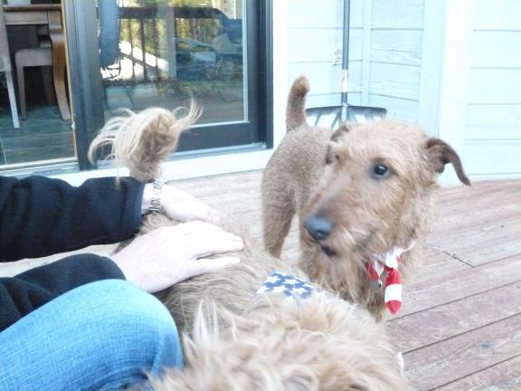 PuppiesInStarSpangledScarves_12