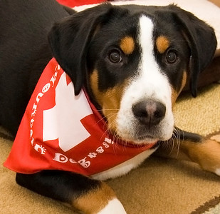 Swiss Mountain Dog looking good with his bandana.