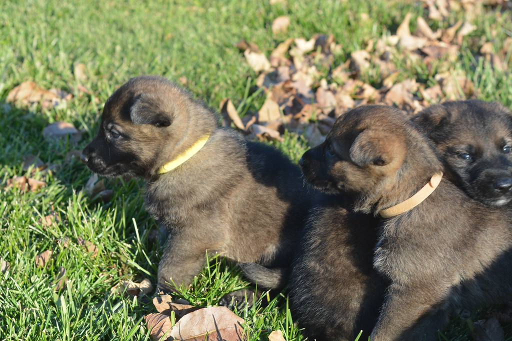 Yellow collar girl, Tan collar girl, Green collar boy<br /> Four weeks old & outside for the first time!  <br /> November 2017
