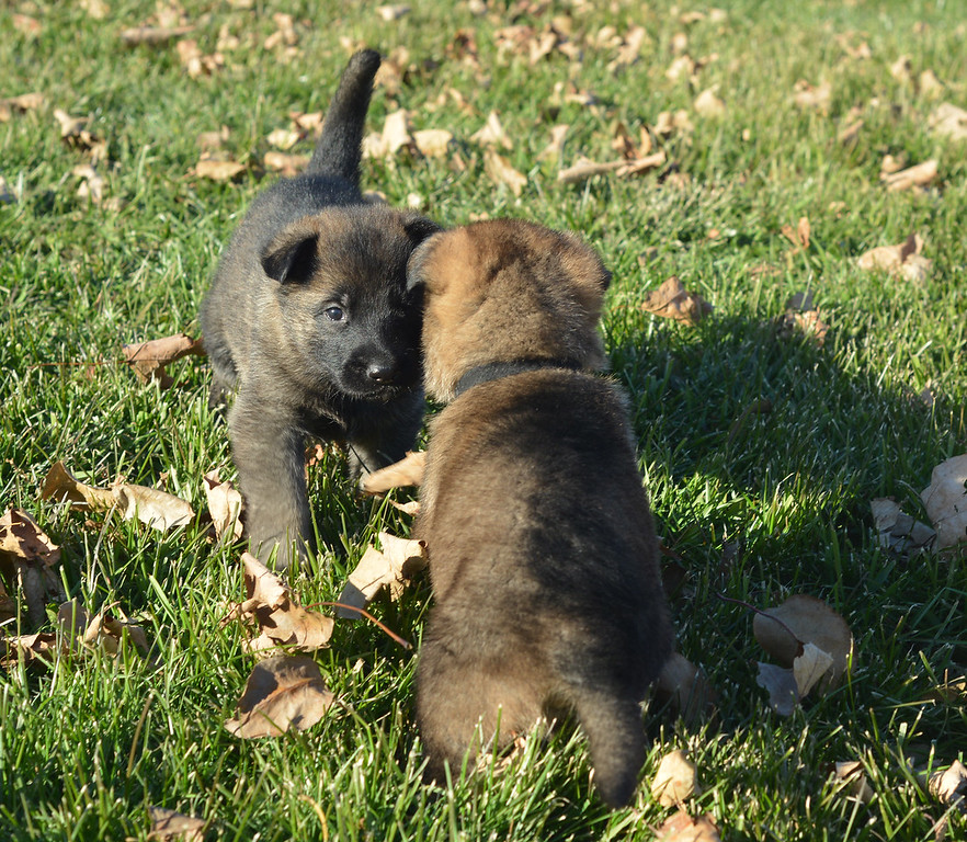Yellow collar girl and Black collar boy<br /> Four weeks old & outside for the first time!  <br /> November 2017