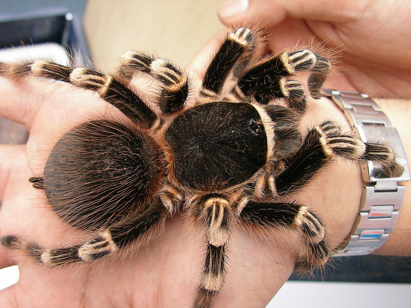 "geniculata (7""?) adult female, owned by Earthtiger"