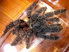 "sp. ""Amazonica"" - freshly molted 6.5"" adult female"
