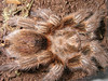 rosea (red color morph) BL 4.5cm sub female