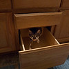 First cat I ever had that could not stand closed doors or cabinets. When he got bored he would go off down the hall and I could hear the cabinet doors and drawers banging as he was trying to get them open. Same with the siding doors on the closets. I used to go along behind him closing things, as he watched, and an hour later I would find them open again.