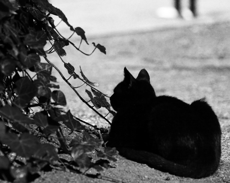 Black as Black can be.<br /> <br /> Very high contrast, to make the cat more a shadow hunter.