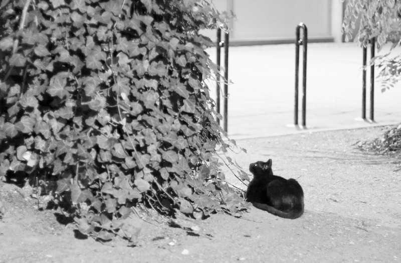 In the last minutes of June, in walked this black cat and rested herself next to that ivy-dressed tree.  She avoided people, so I just sat down carefully on some steps, maybe 10 meters off, and since I carried my camera bag, why not try a couple shots?<br /> <br /> (Yes, the image is a bit pushed for contrast, and cropoped as well.)