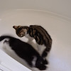 Cats voluntarily in a tub (albeit with no water)!