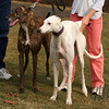 The Greyhounds-Deuce and Dromas : The white greyhound is Deuce and the brindle is Dromas