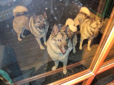 Three Elkhounds
