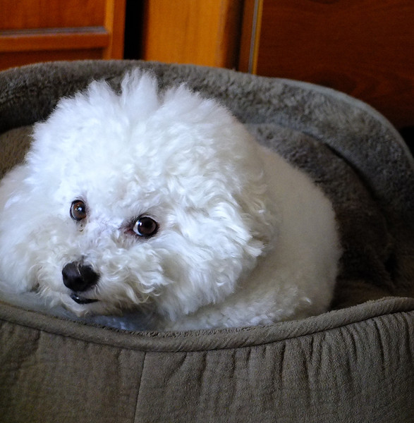 Bichon (1 of 1)