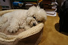 Bichon (1 of 6)