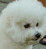 Bichon (3 of 6)