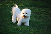 Bichon (4 of 4)