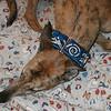 Ramm wearing a Blue Celtic Beast collar
