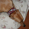 Ruby wearing a Burgundy Celtic Beast collar (OUT OF STOCK)