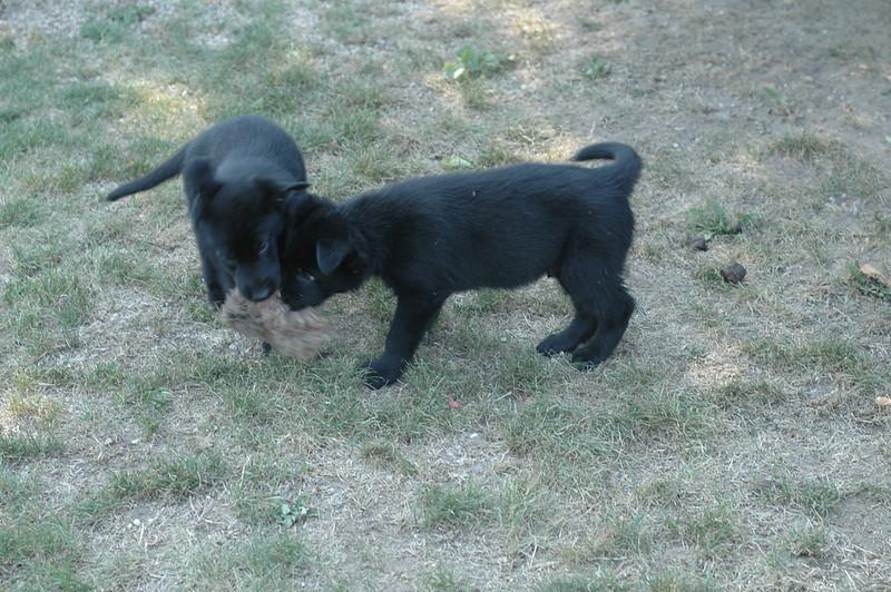 Uno & Ugo, playing tug