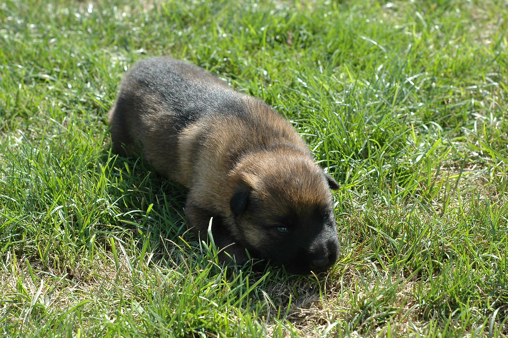 Sable girl, two weeks old<br /> First time outside :)