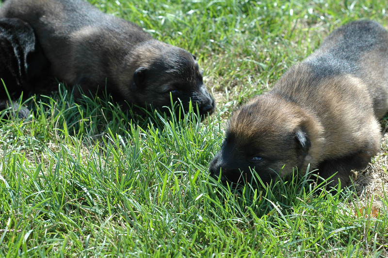 Sable male (L) and sable female (R)<br /> Two weeks old, first time outside :)