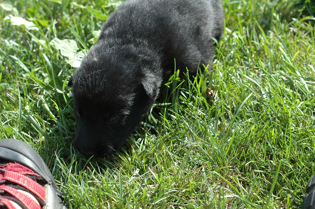 Solid black girl, two weeks old<br /> First time outside :)