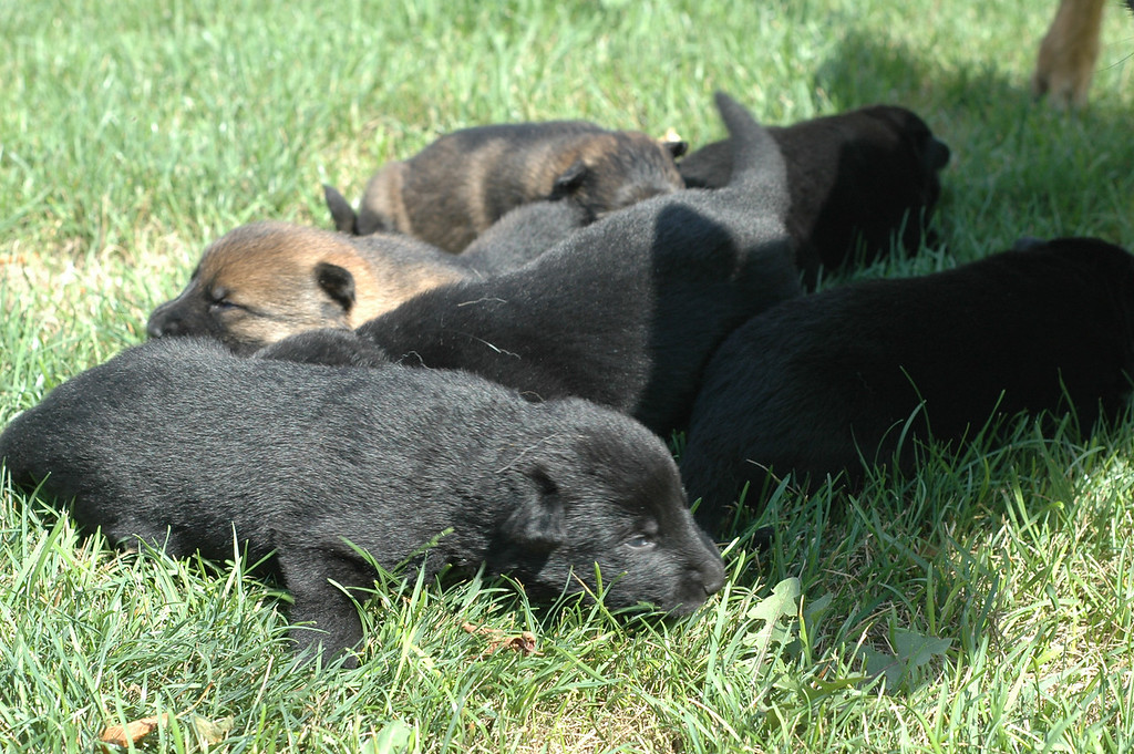 U litter puppies<br /> Two weeks old<br /> First time outside