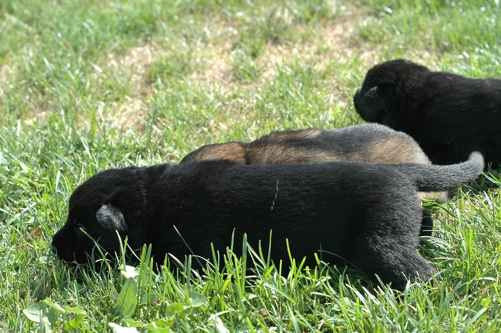 Sable male (middle) with solid black male (front) and solid black female (back)<br /> Two weeks old<br /> First time outside