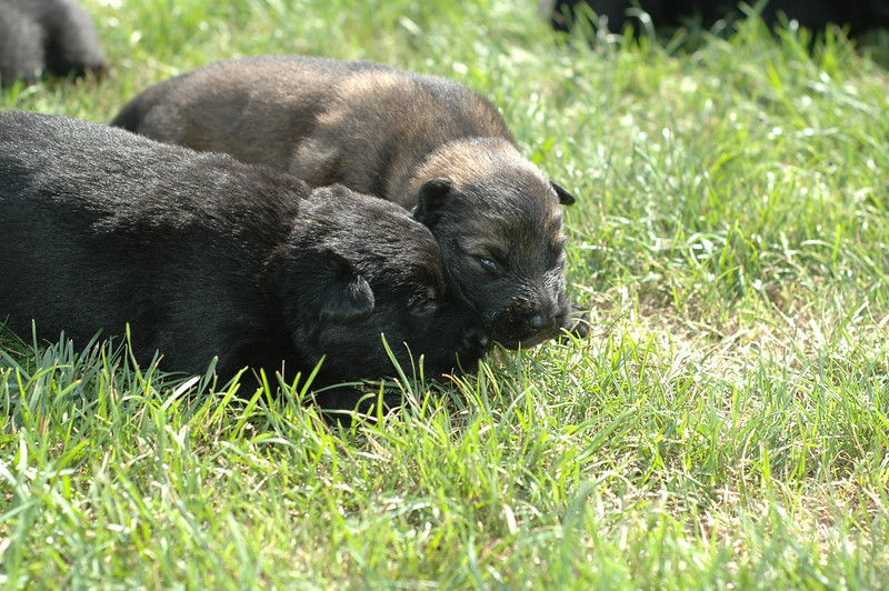 Sable male and solid black male<br /> Two weeks old<br /> First time outside