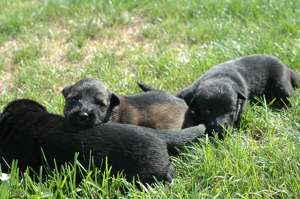 Sable male with solid black male (front) and solid black female (back)<br /> Two weeks old<br /> First time outside