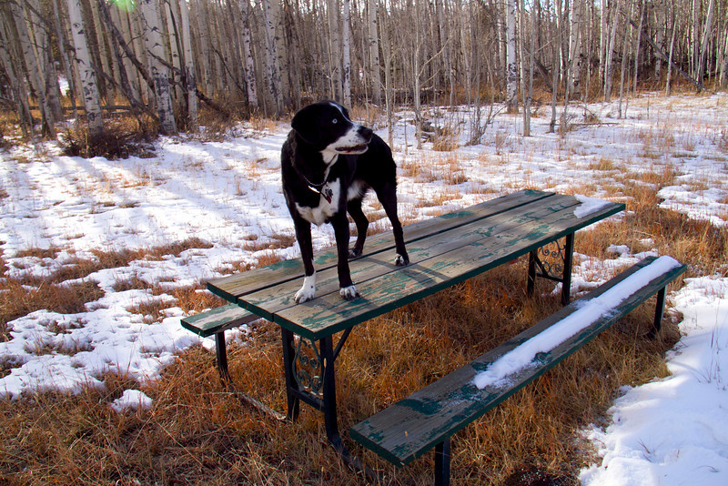 Bozzy on the picnic table at the intersection of Cabin Trail and Rabbit Run Trail at Granby Ranch ( formerly known as Sol Vista Ski Area), November 28, 2012.