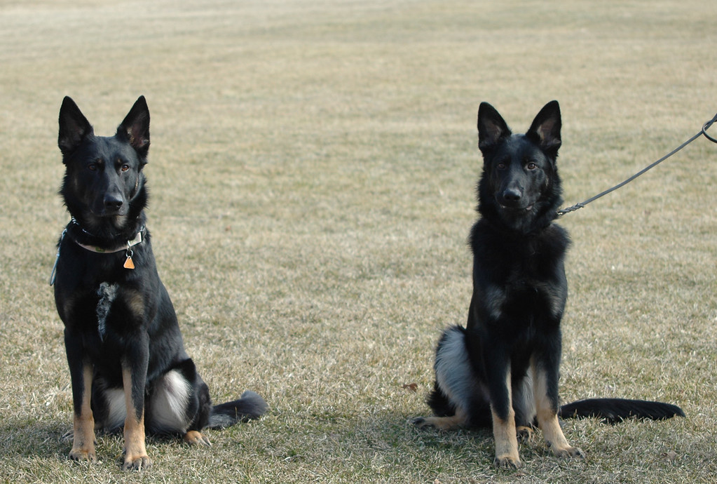 Boy x Hilde daughter Leyla (left) and Boy x Hilde son Phalko (aka Roccco), repeat breeding