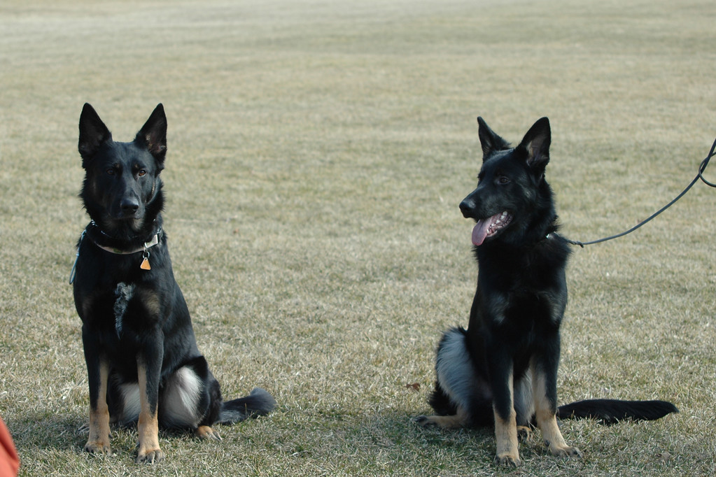 Leyla vom Geistwasser (Boy x Hilde) and her brother Phalko vom Geistwasser, aka Rocco (Boy x Hilde)