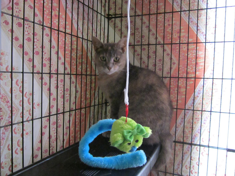 Torti Girl Visit - 8/18/13<br /> Three months after arrival.  Playful and much more adjusted, not fearful.  Allowing head rubbies and no apparent fear of the other cats.  She likes the safety of her own condo.