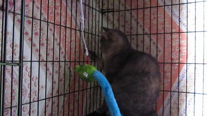 VIDEO: Torti Girl Playing With Toy - 8/18/13<br /> She's come a long way since we dropped her off at her new home on May 12th.