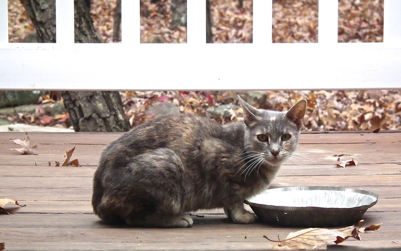 Visiting Feral Kitty Needs A Home - We Call Her Torti