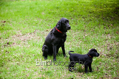 Webber Black Lab Puppies -  May 14, 2014