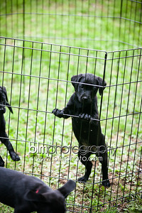 Webber Black Lab Puppies -  May 14, 2014
