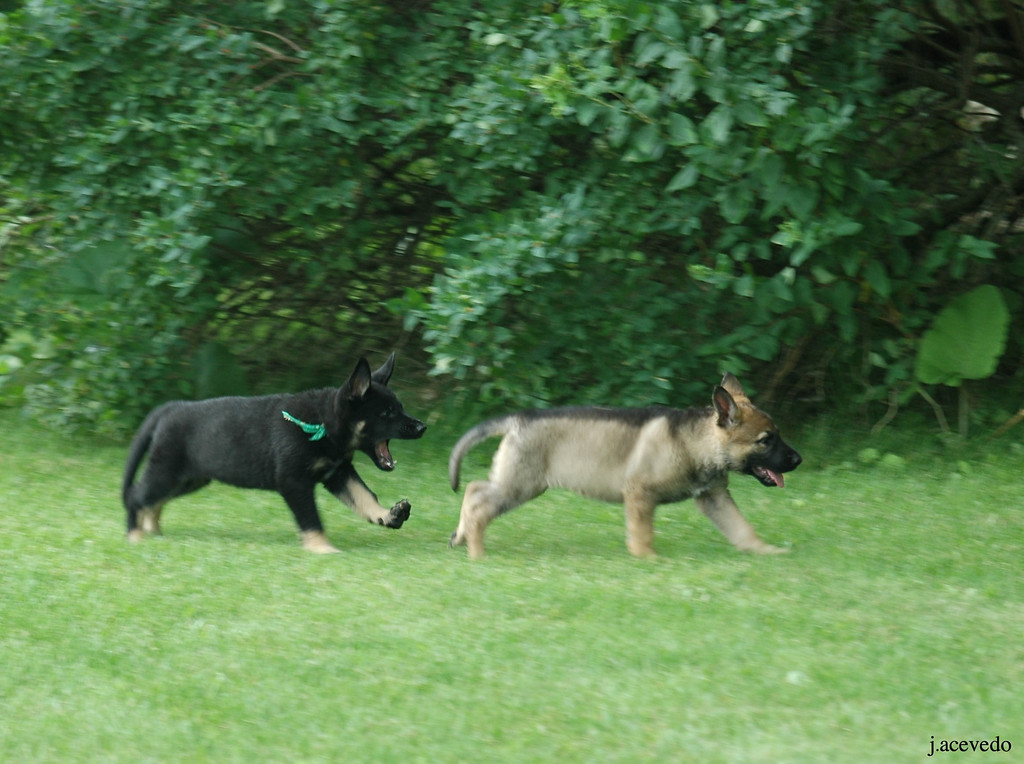 Green boy chasing white collar girl<br /> 7.5wks old