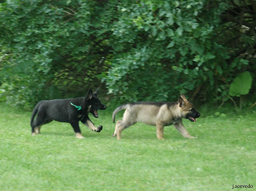 Green boy chasing white collar girl<br /> 7.5wks old