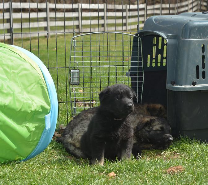 Bicolor girl with male pup (sleeping)